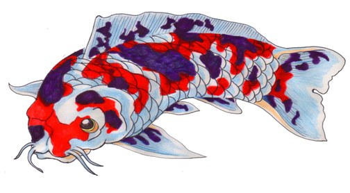 red blue white koi
